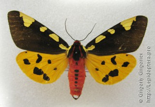 Pericallia matronula