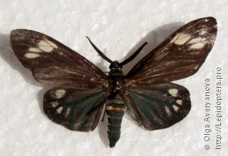 Самец  Cyclosia papilionaris