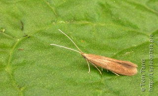 Coleophora serratella