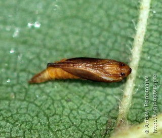 Phyllonorycter klemannella