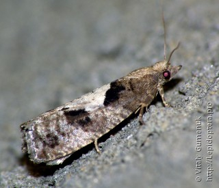 Имаго  Epinotia brunnichana