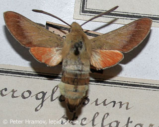 Hemaris croatica