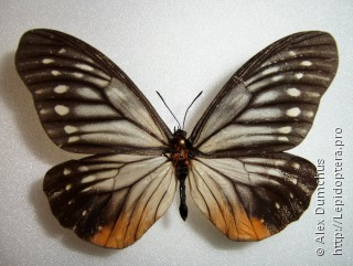 Calinaginae