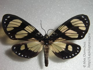 Имаго  Notophyson heliconides