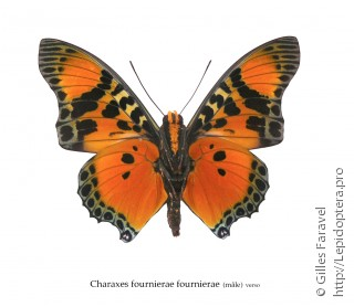 Charaxes fournierae