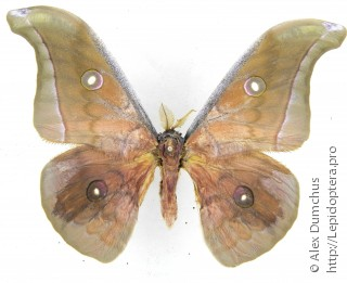 Имаго  Antheraea jana
