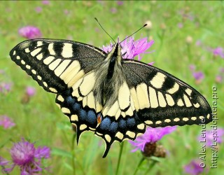 Имаго  (Papilio machaon)