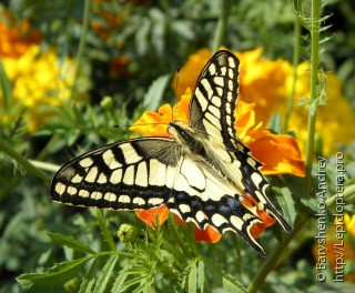 Papilio machaon ussuriensis