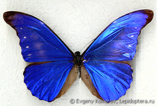 Самец  Morpho rhetenor
