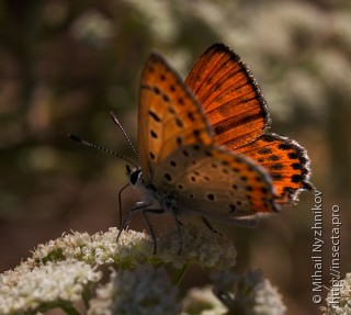Lycaena thersamon