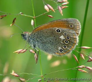 Coenonympha glycerion