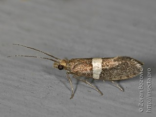 Имаго  Eidophasia messingiella