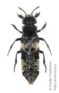 Staphylininae