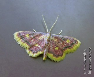 Idaea muricata minor