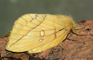 Euthrix potatoria