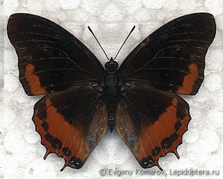 Charaxes anticlea