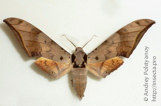 Ambulyx sericeipennis