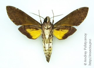Isognathus excelsior