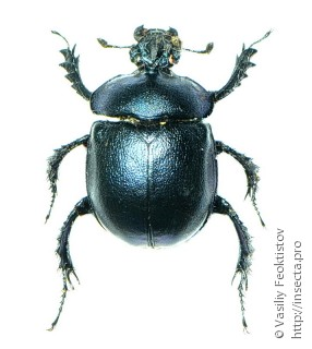Enoplotrupes largeteaui