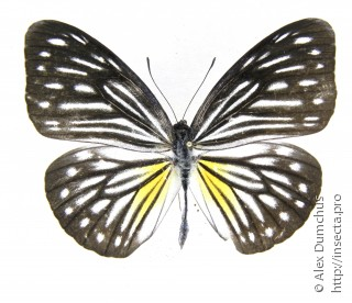 Pareronia valeria