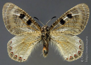 Самец  Archon apollinaris