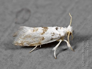 Имаго  Niphonympha dealbatella