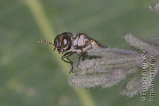 Agrilus sericans