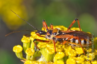 Rhynocoris punctiventris