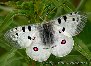 Самец  (Parnassius apollo)