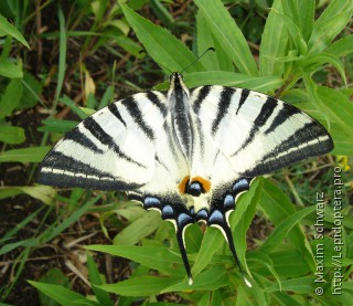 Iphiclides